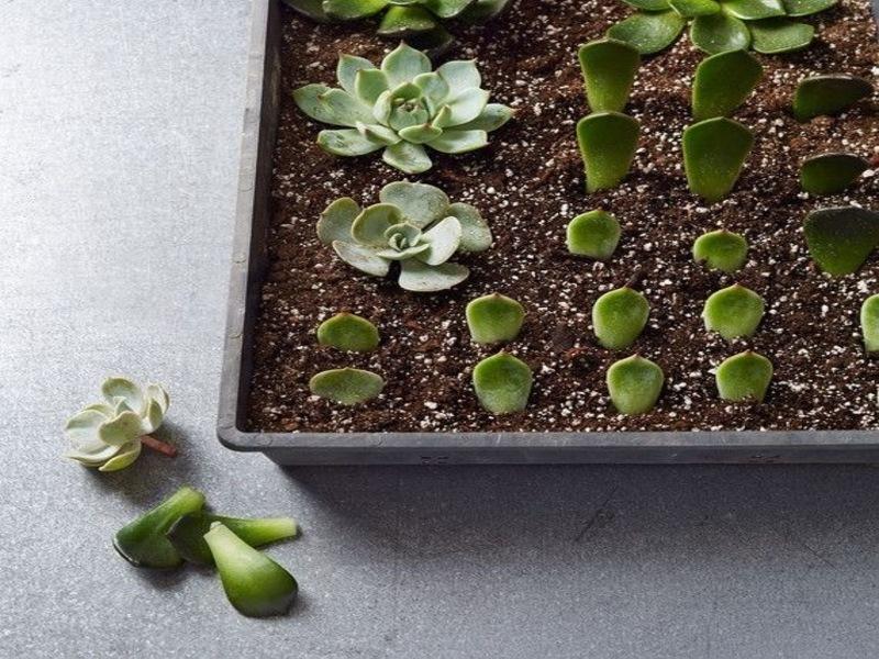 DIY:Nhân giống cả vườn sen đá chỉ với một chiếc lá
