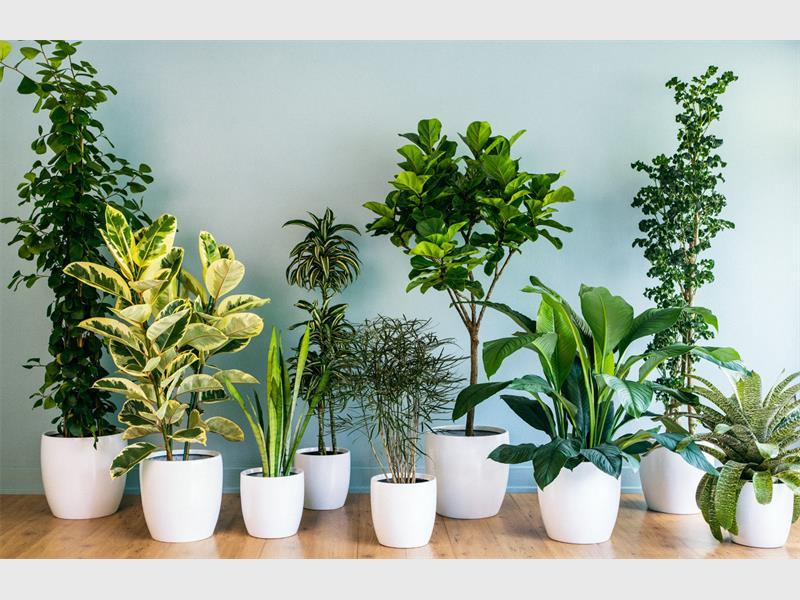 10 Loại cây trồng trong nhà thanh lọc không khí tốt nhất cho phòng ngủ